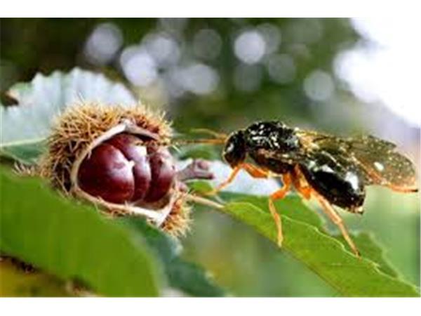 Προσβολές από τη σφήκα σε καστανεώνες σε Πυργετό και Αμπελάκια