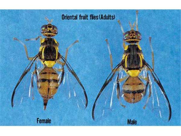Ενημέρωση αγροτών για τον οργανισμό καραντίνας Bactrocera dorsalis